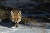 Red fox in Winter. 2010.