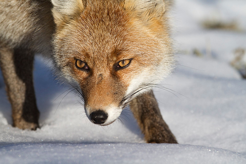 Portrait of the red fox in a sunny day of winter