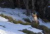 Red fox. Zorro en el bosque nevado.