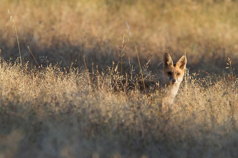 Red fox in summer