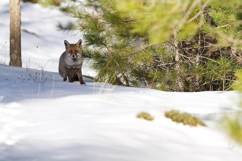 Encuentro con el zorro en el bosque invernal.