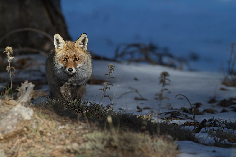 Red fox in the forest (winter). South of Spain.