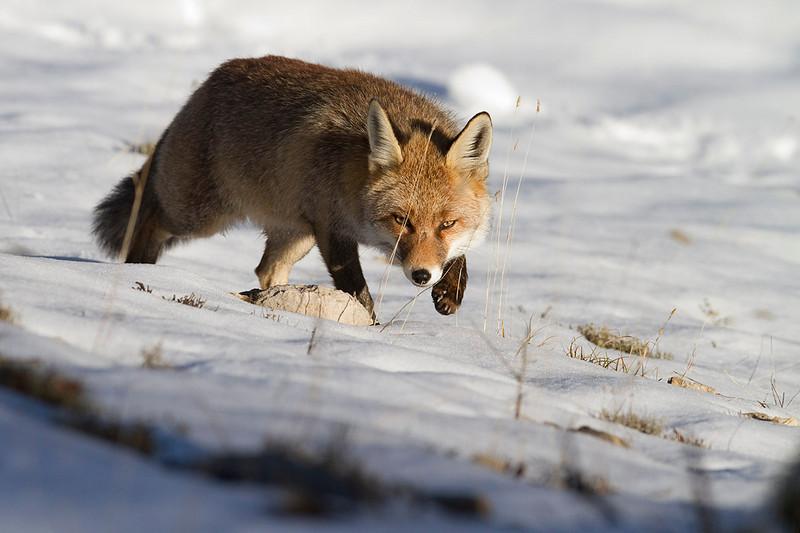 El zorro en invierno.