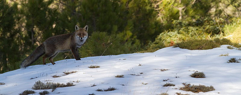 Red fox in the forest. Winter in the South of Spain.
