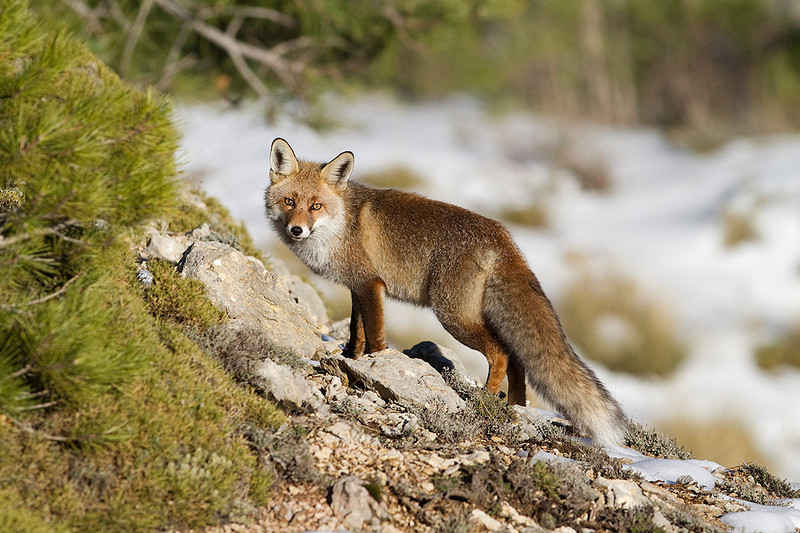 Red fox in the forest. South of Spain