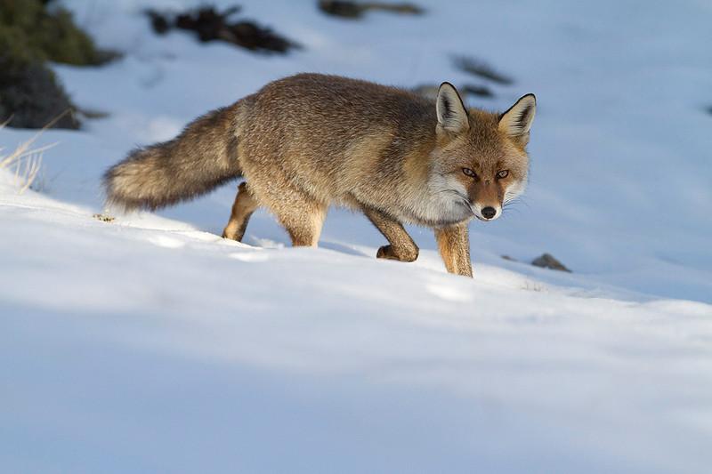 Red fox in winter<br /> Zorro en invierno