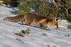 Zorro trotando sobre la nieve