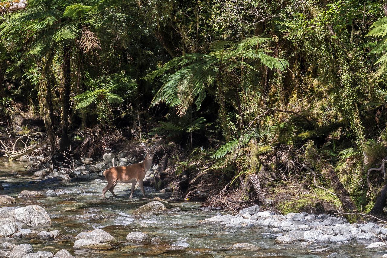 Red deer (Cervus elaphus), Transit River