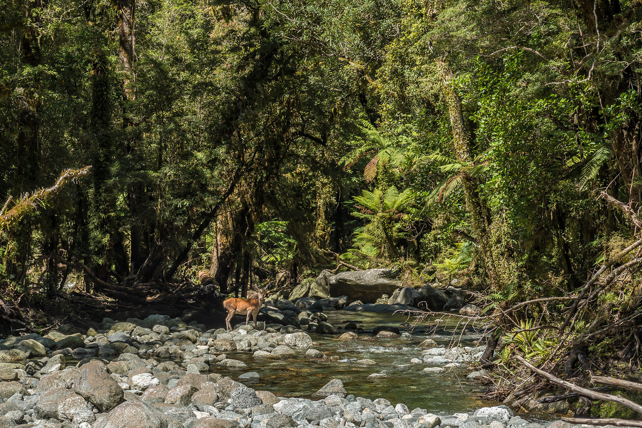 Red deer (Cervus elaphus), Transit River. He didn't seem too worried about us!