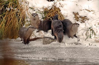 River Otters Yakima Canyon Nov 2011