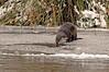 8654 River Otter