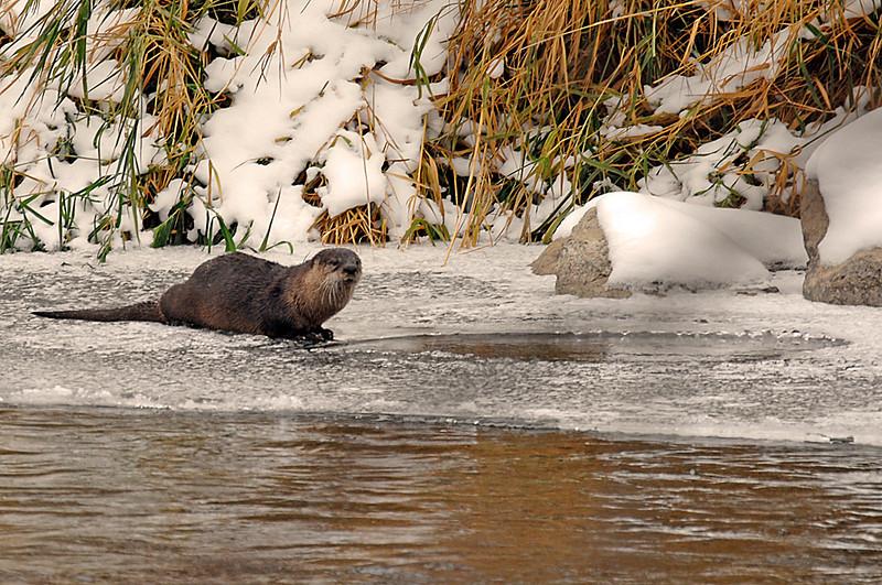 8644 River Otter