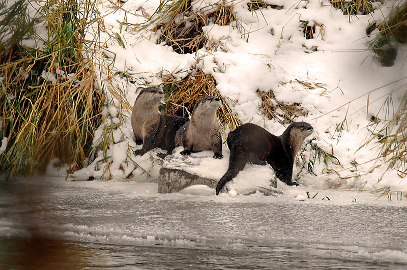 8632 River Otters