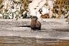 8649 River Otter