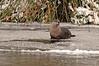 8656 River Otter