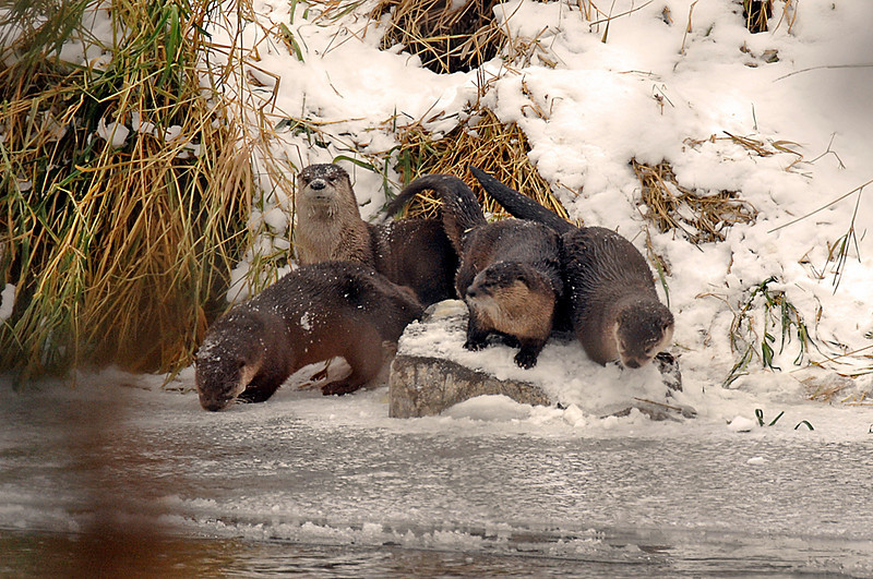 8640 River Otters