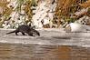 8642 River Otter