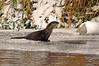 8645 River Otter
