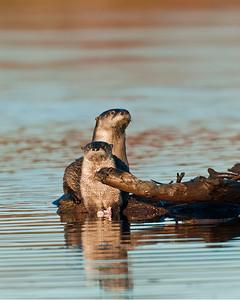 River Otter, Wichita Mountains Wildlife Refuge, OK