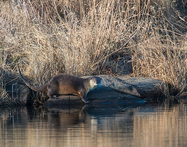 River Otter, Wichita Mountains Wildlife Refuge, OK