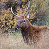 A lone bachelor bull Elk hangs outside the herd of a more dominant male hoping to siphon off cows during the fall rutting season.