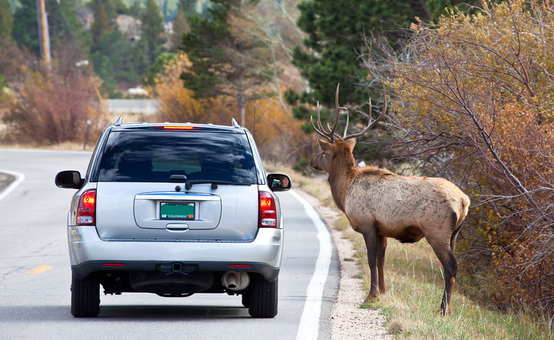 A large bull elk so used to vehicle traffic and humans, he doesn't even budge when a car stops meer feet away. Estes Park, Colorado