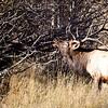 A large Male Elk bugles for his mates during the fall rutting season. Estes Park, Colorado.