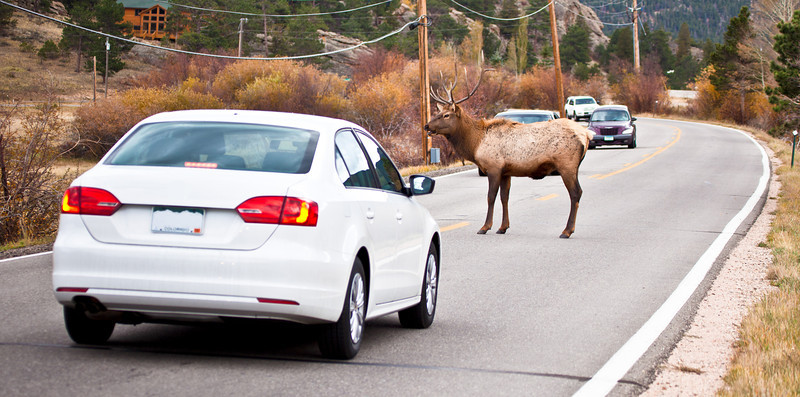 A large bull elk stands in the middle of the road backing up traffic on both sides. Estes Park, Colorado
