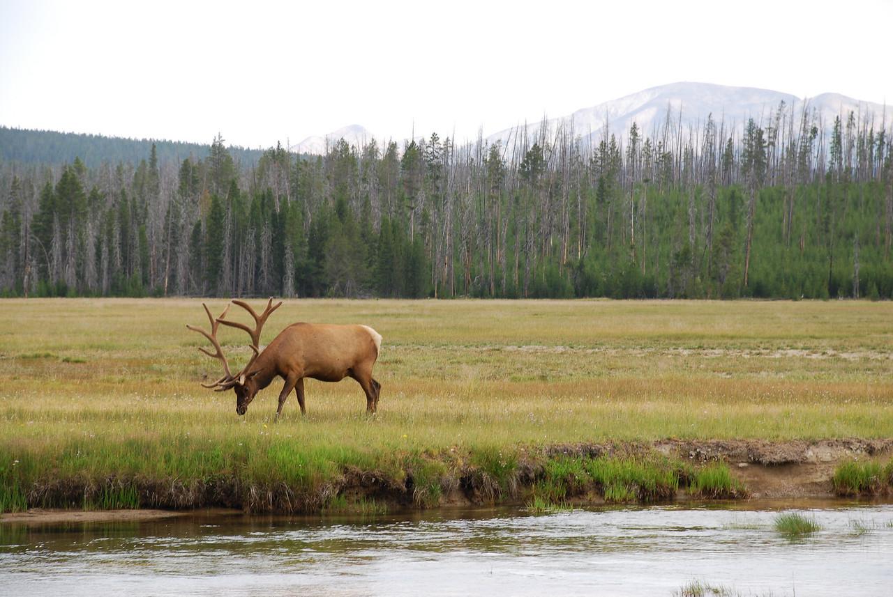 Rocky Mountain elk (Cervus elaphus ssp. nelsoni). Yellowstone National Park, USA.