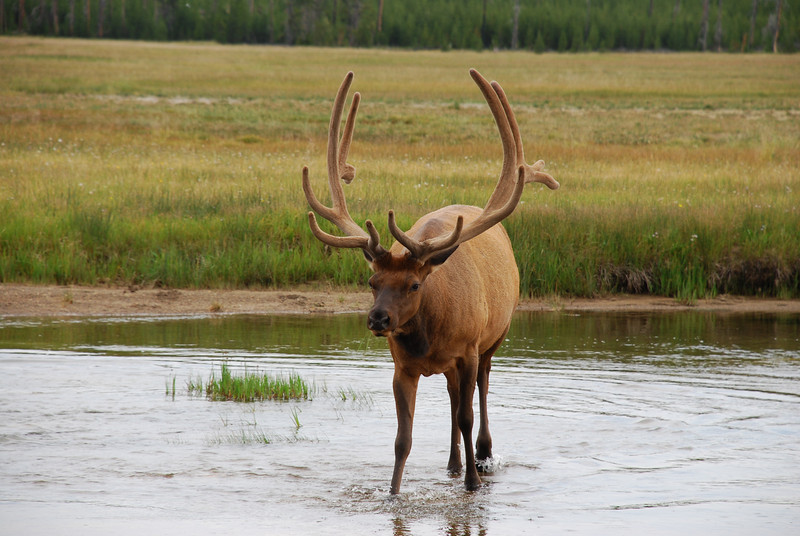 Rocky Mountain elk (Cervus elaphus ssp. nelsoni). Yellowstone National Park, USA.