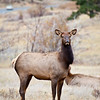 A Doe Elk grazes on the dry grasses of Rocky Mountain National Park during the fall rutting season. Colorado