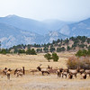 A large herd of elk with the mountains in the background outside Rocky Mountain National Park, Colorado
