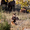 A herd of does and calfs graze on the dry grasses of Rocky Mountain National Park during the fall rutting season. Colorado