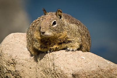 Ground squarrel.  Morro Bay, California.