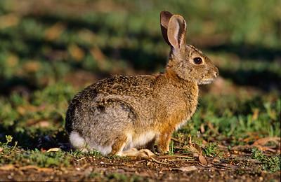 Cottontail rabbit.  3666 Bumann road, Olivenhain, California.