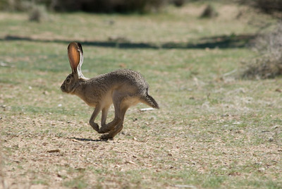 Jack rabbit.  Joshua Tree National Monument, California.
