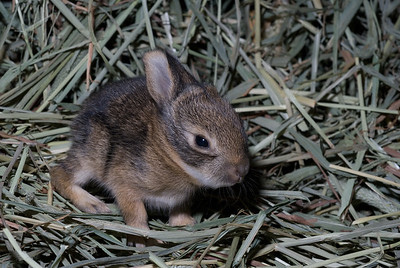 Baby cottontail rabbit.  3666 Bumann road, Olivenhain, California.