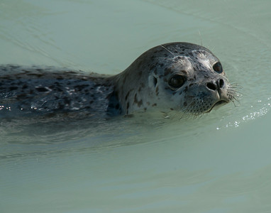 Harbor Seal, Kenai Fjords National Park, AK