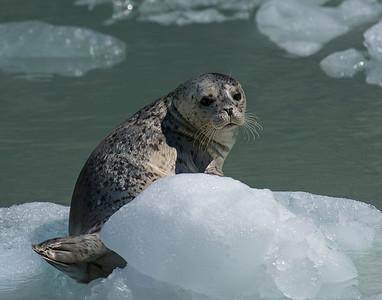 Harbor Seal, Kenai Fjords National Park, AK
