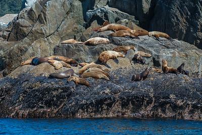 Stellars Sea Lion, Kenai Fjords National Park, AK
