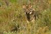 Iberian Wolf. Lobo Ibérico (Canis lupus signatus)