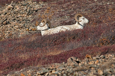 Rare Two-headed Dall Sheep, Denali National Park, Alaska