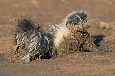 Young Skunk stuck in the mud at Hackberry Flats Wildlife Management Area