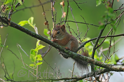 Red-Squirrel - Juvenile