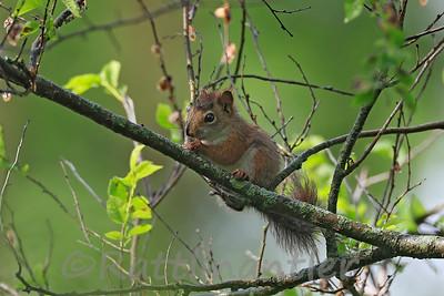 Red-Squirrel - Juvenile