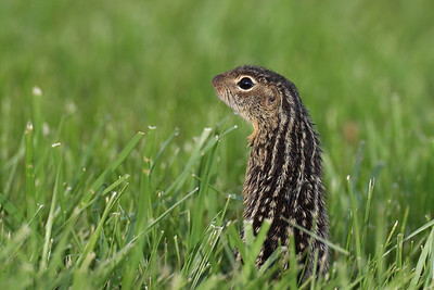 13-Lined Ground Squirrel