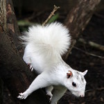 White Squirrel Princess Lucy 4