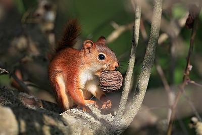American Tree Squirrel