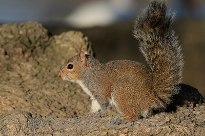 Louisiana Gray Squirrel