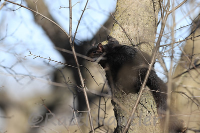 Gray Squirrel - Black Phase